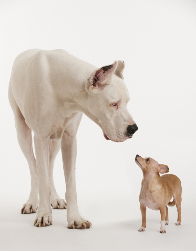 small dog looks at big dog representing growing importance of big data quality