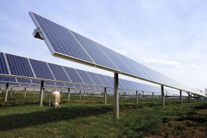 Sheep grazing under solar panels