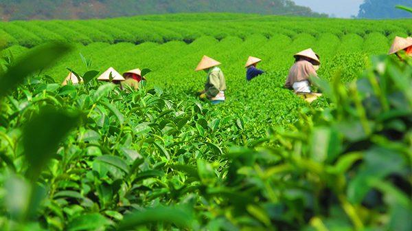 tea plantation workers wearing sun hats in a field of green tea plants
