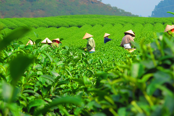 tea plantation workers wearing sun hats in a field of green tea plants