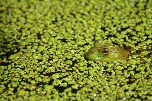 Frog peeking out from a pond