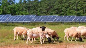 Solar Farm on SAS Campus with sheep
