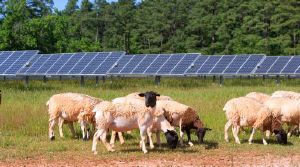 Solar Farm on SAS Campus with sheep