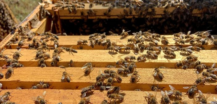 picture of honey bees on frames from a beehive