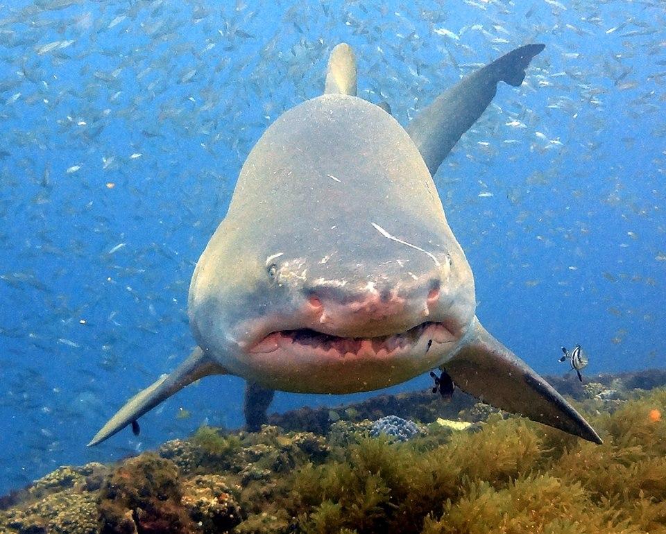 rochelle_shark