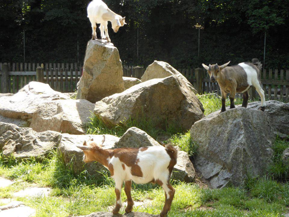 marks_goats