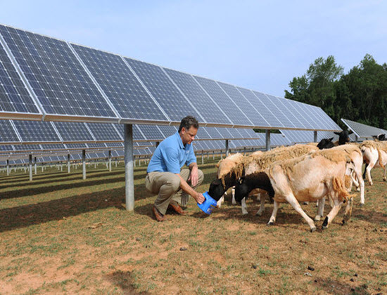 Solar_sheep