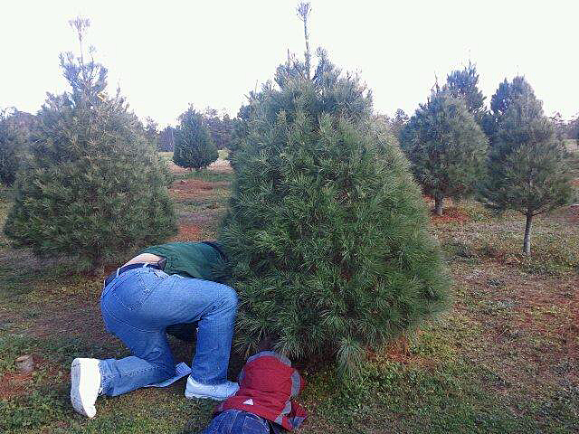 Cut Your Own Christmas Tree.Finding A Cut Your Own Christmas Tree In North Carolina
