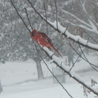 Photograph of Northern Cardinal in snow storm