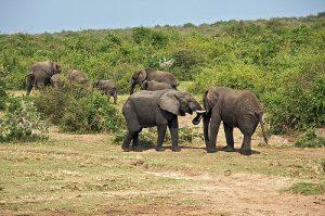 elephant uganda queen eliz park